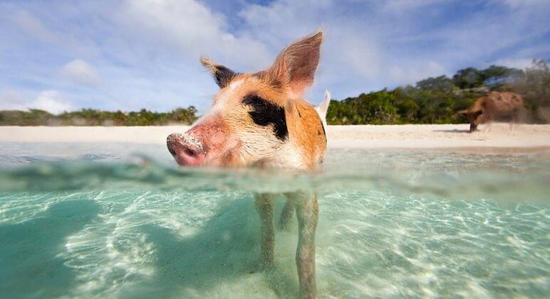 swim with pigs 1